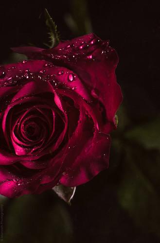 Rose // 10 04 14