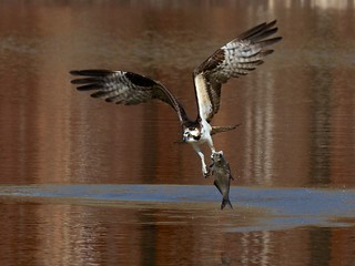 Osprey Catching Fish (19)