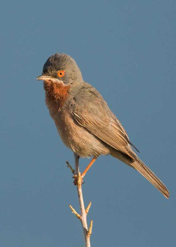 Subalpine Warbler 2014-05-02
