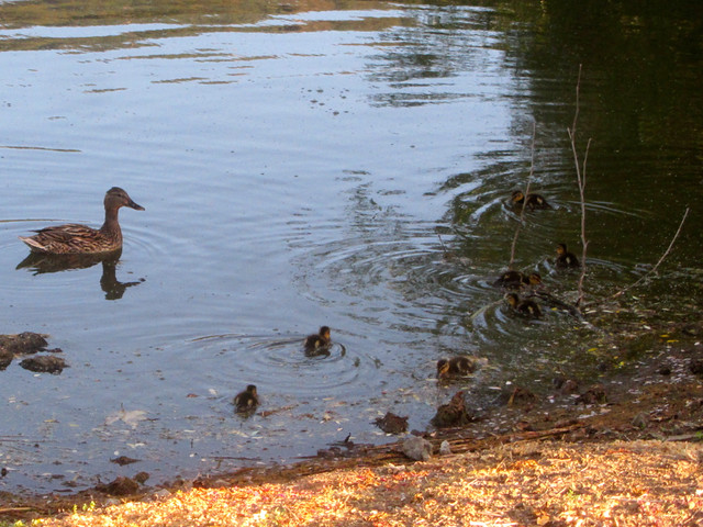 ducklings at the lake