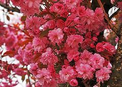 ornamental blossoms Vancouver