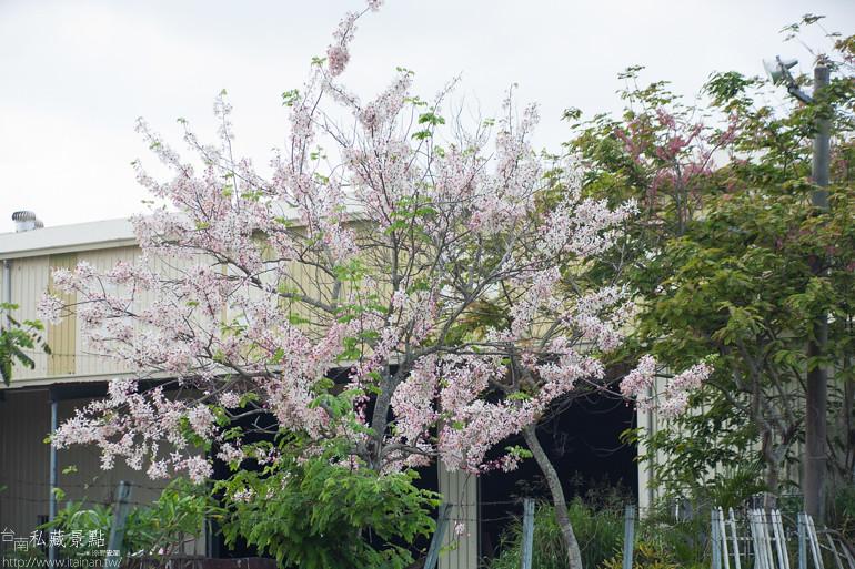 台南私藏景點--台1線花旗木 (6)