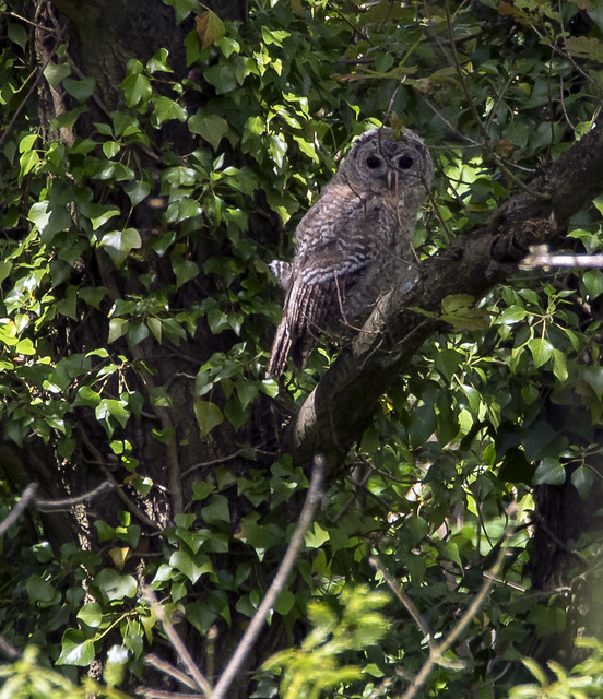tawny owl 371  (16)