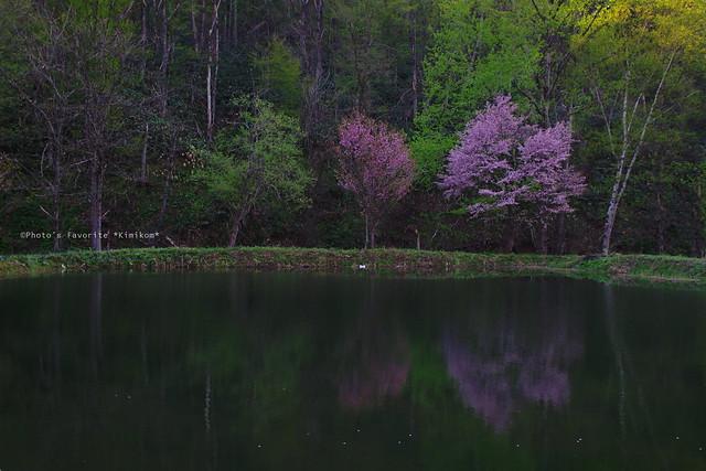 水鏡の桜1