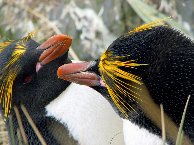 macaroni penguins - Cooper Bay (104)