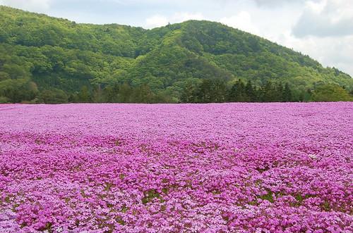 ★富士・本栖湖の芝桜と牧場