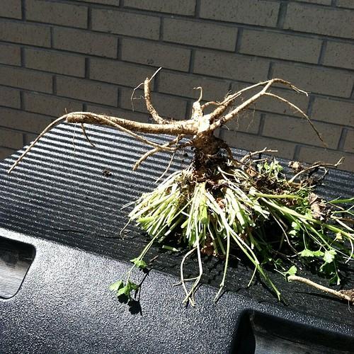 Rogue parsley had to die! #planting #littleyard #june