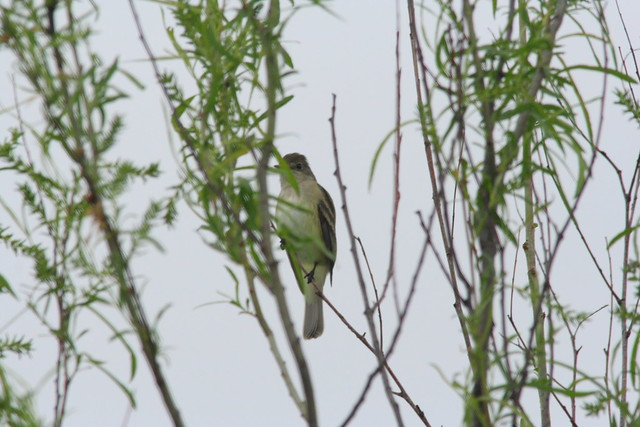 IMG_4073_willow flycatcher