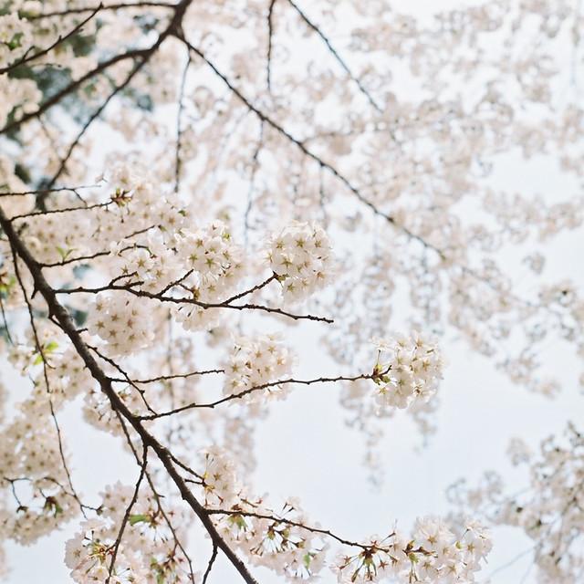 6x6の桜風景【7】 - HASSELBLAD 500C/M -