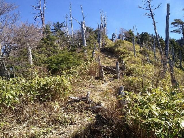 恵那山 立ち枯れ木群