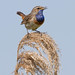 Bluethroat (Luscinia svecica) Blauwborst by RonW's Nature Photography