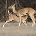 Spotted deer-4