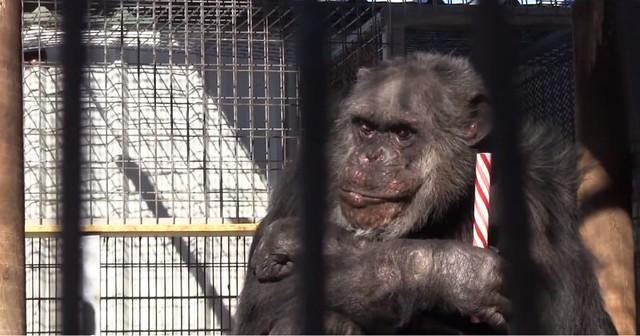 1mChimpanzee-at-GW-Zoo.jpg