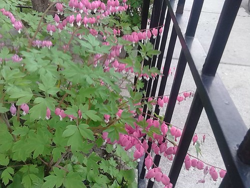 Bleeding hearts by the fence