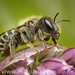 Blue Mason Bee (Osmia caerulescens)