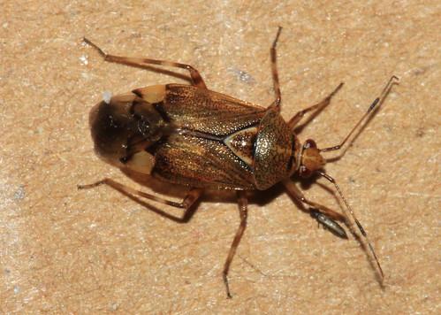 Deraeocoris flavilinea 29369