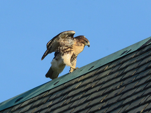 Cathedral Juvenile Hawk - 3603