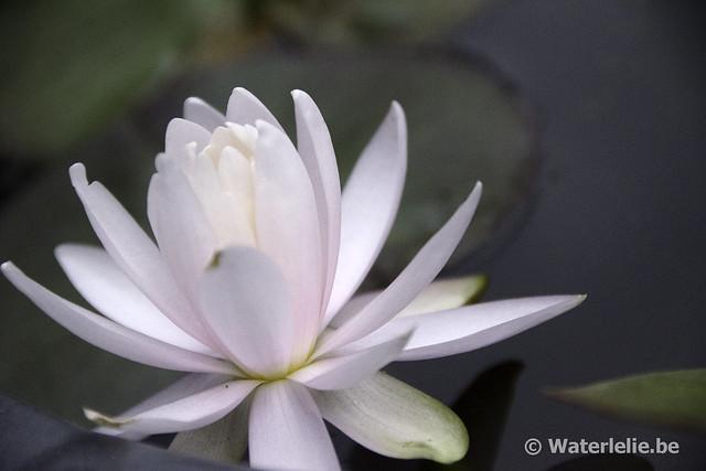 Waterlelie Caroliniana Perfecta / Nymphaea Caroliniana Perfecta