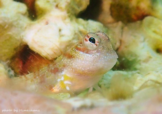 ヒナギンポ幼魚ちゃんも見てましたw