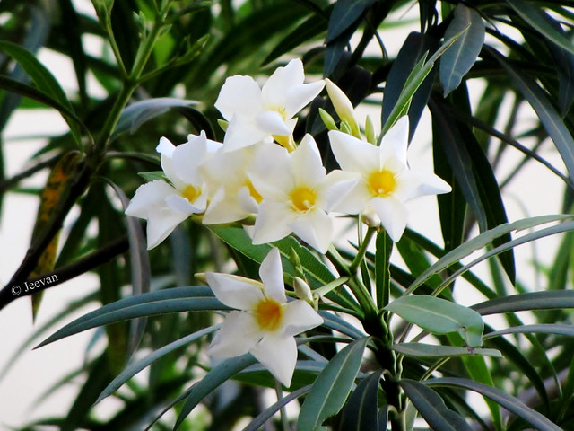 Nerium Oleander @ neighbour's house