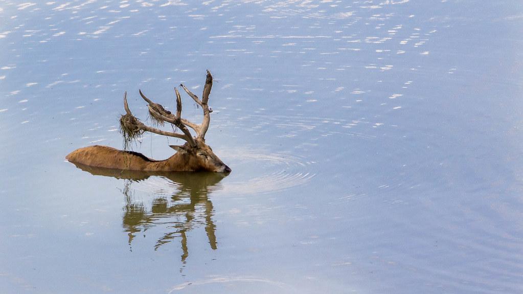 Pere David\'s Deer