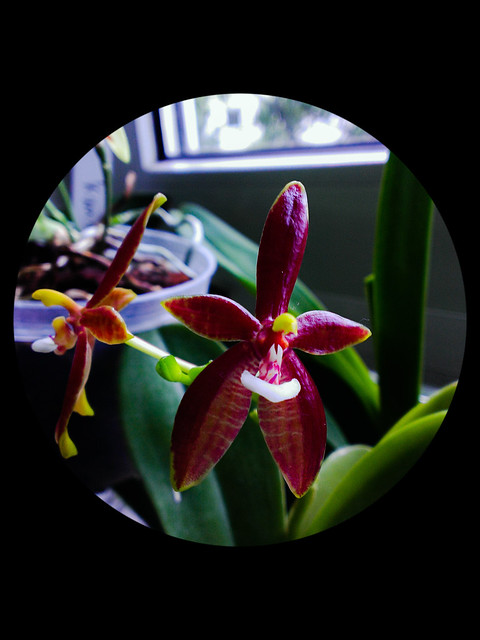 Phalaenopsis cornu-cervi 14512975568_405858b591_z
