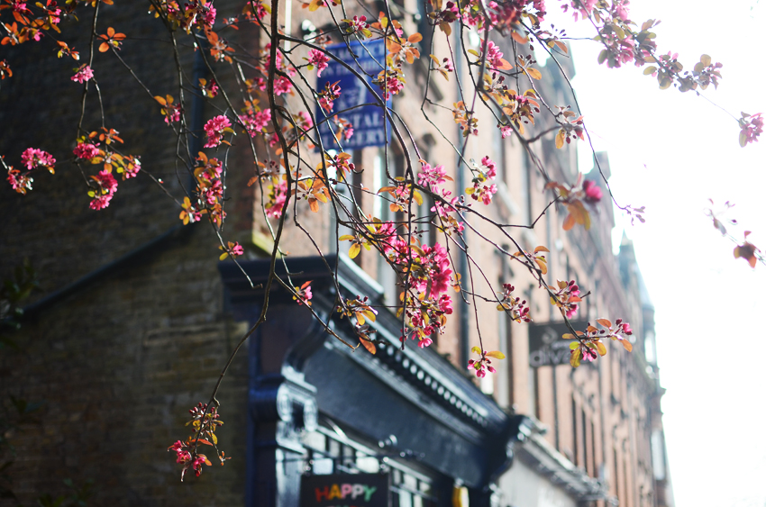 7 hampstead glowing pink blossoms