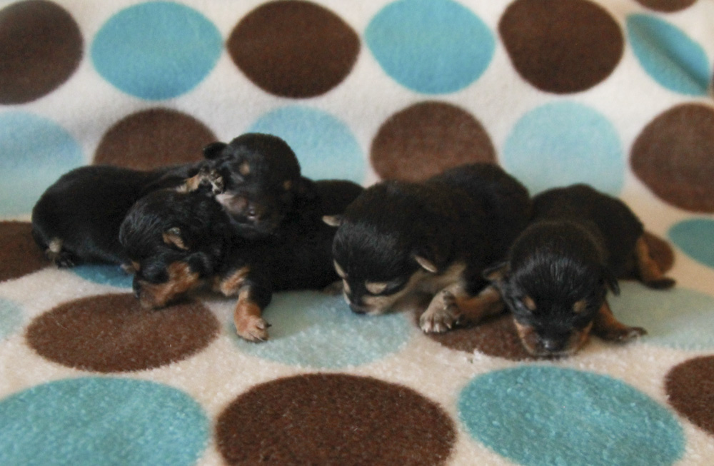 Yorkie Pups 11 Days