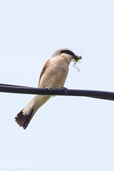Shrike carying grasshoper for its youngers