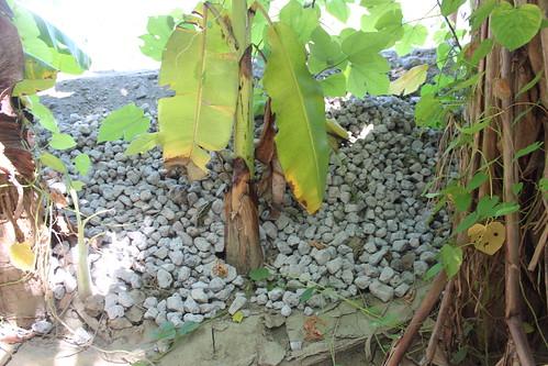 芭蕉樹下的爐碴。圖文:廖靜蕙