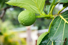 Young Breadfruit