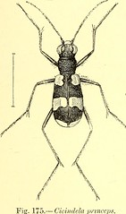 """Image from page 432 of """"Coleoptera : general introduction and Cicindelidae and Paussidae"""" (1912)"""