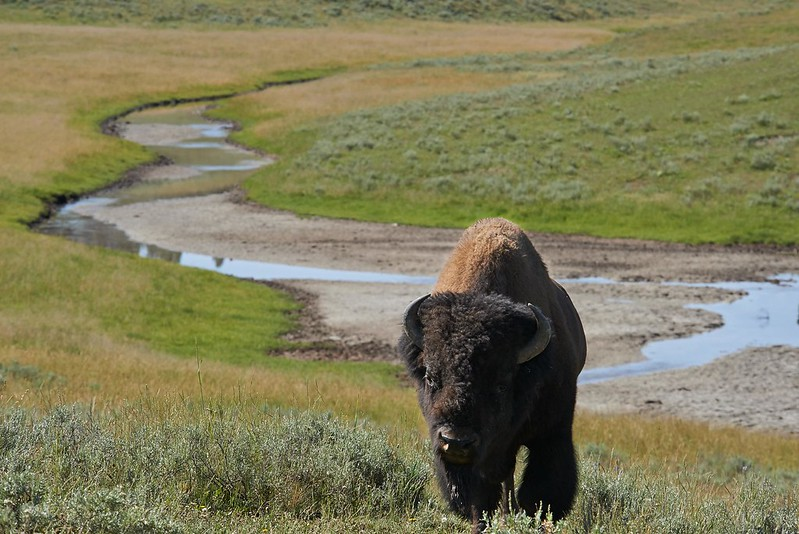 Bison in Hayden Valley - Yellowstone National Park