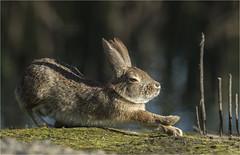 Brush Bunny, Morning Stretch