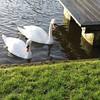 #swans