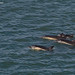 Common Dolphins by JKmedia