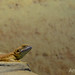 Small photo of Shield-tailed Agama