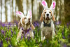 Happy Easter | The Beagles | Dog Photography Bedfordshire