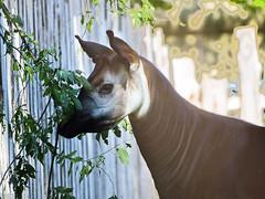 Memphis Zoo 08-31-2016 - Okapi 1
