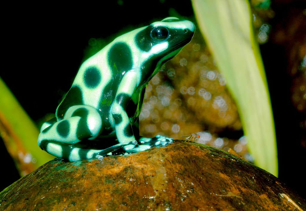 Green-Black Dart Frog_2