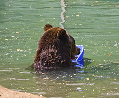Memphis Zoo 08-31-2016 - Grizzly Bear 6