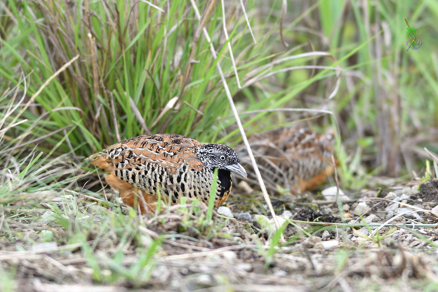 Barred_Buttonquail_3351