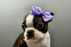 A Beautiful Bow For A Beautiful Pup April 23, 2017