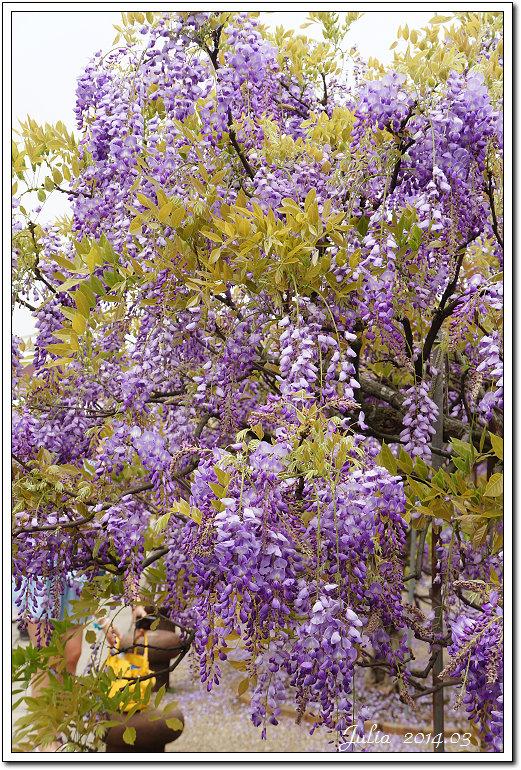 紫藤、老梅 (8)