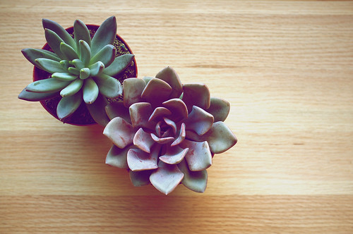Pair of succulents.
