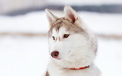dog breed, animal, west siberian laika, dog, alaskan klee kai, siberian husky, pet, canadian eskimo dog, east siberian laika, greenland dog, northern inuit dog, wolfdog, close-up, saarloos wolfdog, alaskan malamute, sled dog, carnivoran,