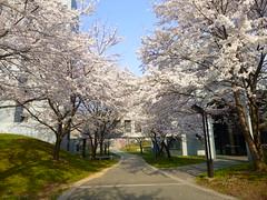 20140408JAIST内の桜