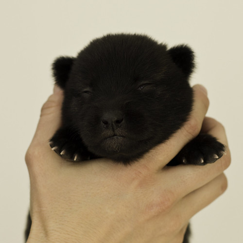 Ayui-Litter4-Day20-Puppy3-Female-a