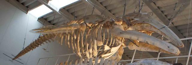 灰鯨骨骼標本,作者攝於日本北海道足寄動物化石博物館。