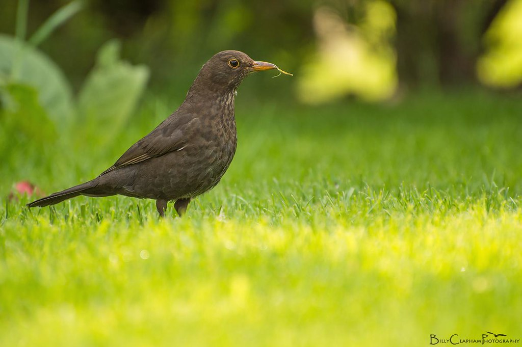 female blackbird garden spring photography